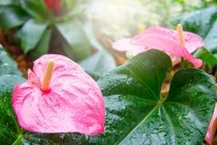 La flor de flamenco en el jardín con luz del sol por la mañana Imágenes de archivo libres de regalías