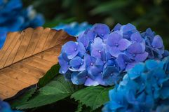 La flor de la hortensia está floreciendo en el jardín Fotografía de archivo