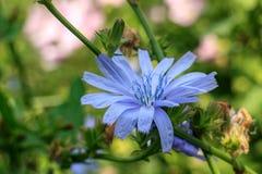 La flor de la achicoria imagen de archivo libre de regalías