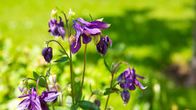 La flor de la aguileña con manosea la abeja Imagen de archivo libre de regalías