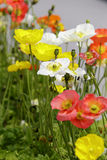 La flor de la amapola Imagen de archivo