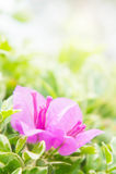 La flor de la buganvilla, las flores rosadas florece en la sol Foto de archivo libre de regalías