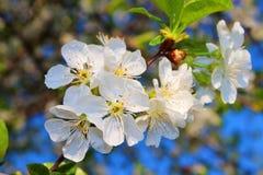 La flor de la cereza Fotografía de archivo libre de regalías