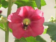 La flor de la malvarrosa Fotos de archivo libres de regalías
