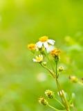 La flor de la manzanilla Fotos de archivo