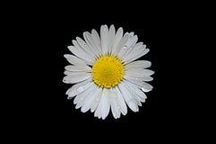 La flor de la manzanilla en un fondo negro con lluvia cae imagen de archivo