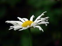 La flor de la margarita quiere el escarabajo fotografía de archivo