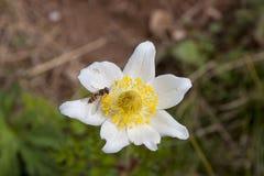 La flor de la montaña Fotografía de archivo libre de regalías