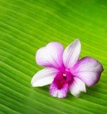 La flor de la orquídea miente en la hoja verde Imágenes de archivo libres de regalías