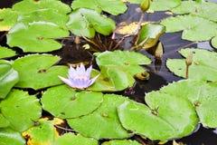La flor de la púrpura lilly srrounded por las hojas en una charca imagenes de archivo
