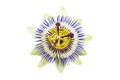 La flor de la pasión Fotografía de archivo