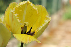 La flor de la primavera del amarillo franjó el tulipán en fondo borroso Imagen de archivo libre de regalías