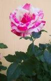 La flor de los colores subió Fotos de archivo