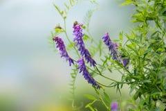 La flor de los guisantes salvajes púrpuras del ratón florece en verano, en un fondo gris Foto de archivo