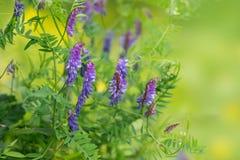 La flor de los guisantes salvajes púrpuras del ratón florece en verano, en un fondo verde Fotografía de archivo