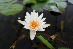 La flor de loto blanca de la pureza fotos de archivo