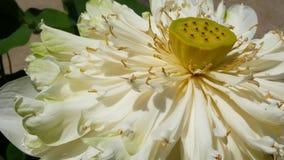 La flor de loto blanco con verde se va en la charca Flor de loto blanco hermosa como símbolo del budismo que flota en el agua de  almacen de video