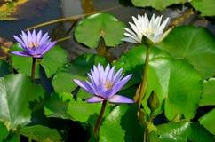 La flor de loto blanco y el lirio de agua violeta florecen con los pescados de Molly Imagen de archivo