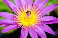 La flor de loto hermosa con las abejas, rosa y púrpura Fotografía de archivo