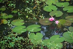 La flor de loto hermosa del flor en la charca de Tailandia refleja en el agua Foto de archivo