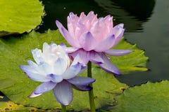 La flor de loto hermosa es el símbolo del Buda, Tailandia Imagenes de archivo
