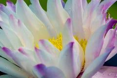 La flor de loto hermosa es el símbolo del Buda, Tailandia Imágenes de archivo libres de regalías
