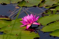 La flor de loto hermosa es el símbolo del Buda, Tailandia Fotos de archivo