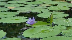La flor de loto púrpura minúscula y muchas hojas en la charca metrajes