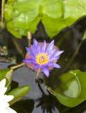 La flor de loto púrpura se abrió en una charca con el centro y el wate amarillos Foto de archivo libre de regalías