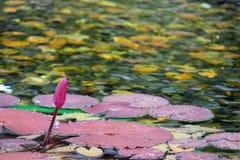 La flor de loto rosada flotante en la charca con las rocas en la tierra va a florecer foto de archivo libre de regalías