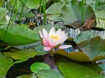 La flor de loto rosada hermosa del lirio de agua en verde de la charca se va Foto de archivo libre de regalías