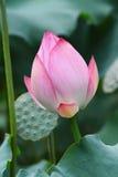 La flor de loto va a florecer Foto de archivo libre de regalías