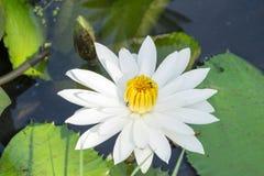 La flor de Lotus blanco en la plena floración está en la piscina Imagen de archivo libre de regalías