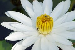 La flor de Lotus blanco en la plena floración está en la piscina Fotografía de archivo libre de regalías
