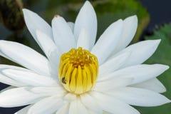 La flor de Lotus blanco en la plena floración está en la piscina Fotos de archivo libres de regalías