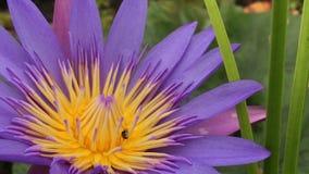 La flor de Lotus en pantano con las abejas del vuelo encuentra el néctar almacen de video