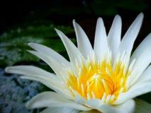 La flor de Lotus está floreciendo Fotos de archivo