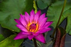 La flor de Lotus púrpura con las abejas de la miel recoge el polen del ing Imágenes de archivo libres de regalías