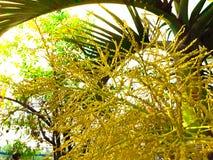 La flor de la palma en la palmera Foto de archivo libre de regalías