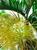 La flor de la palma en la palmera Fotos de archivo