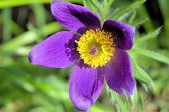 La flor de pasque. Fotografía de archivo