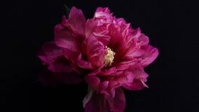 La flor de la peonía es lapso de tiempo revelador metrajes