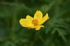 La flor de rayo amarilla, tambi?n llam? el cosmos de la flor, pertenece a la familia del girasol fotografía de archivo libre de regalías