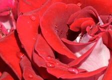La flor de la rosa del rojo con agua cae, macro imagen de archivo