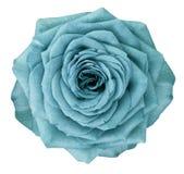 La flor de Rose Turquoise en blanco aisló el fondo con la trayectoria de recortes Ningunas sombras primer Foto de archivo libre de regalías