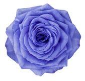 La flor de Rose Turquoise en blanco aisló el fondo con la trayectoria de recortes Ningunas sombras primer Imagen de archivo