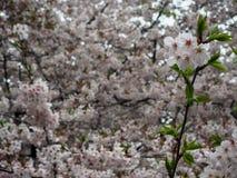 La flor de Sakura de la plena floración con verde fresco se va entre abundante Fotografía de archivo
