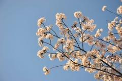 La flor de Sakura de las flores de cerezo durante tiempo de primavera en Japón imagenes de archivo