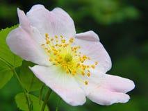 La flor de salvaje subió en el bosque Imagen de archivo libre de regalías