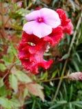 La flor de Shaniron imagen de archivo